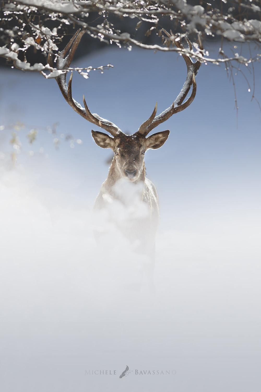 cervo nobile nella neve nel parco nazionale d'abruzzo