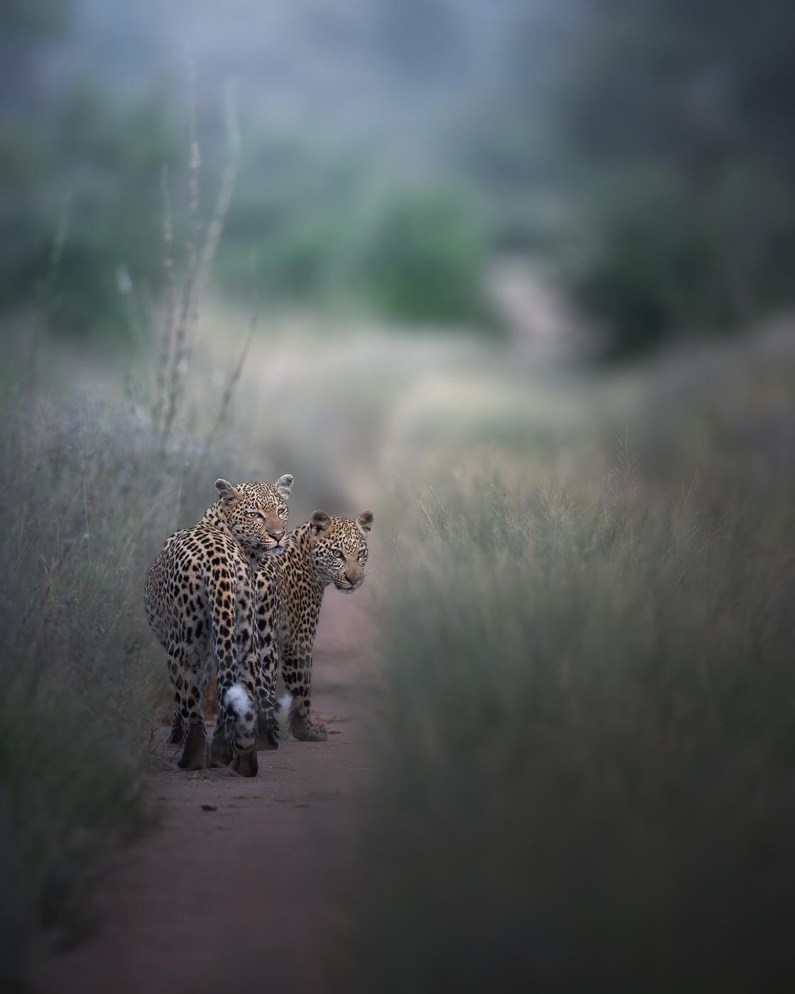 leopardi fotografia naturalistica kruger national park