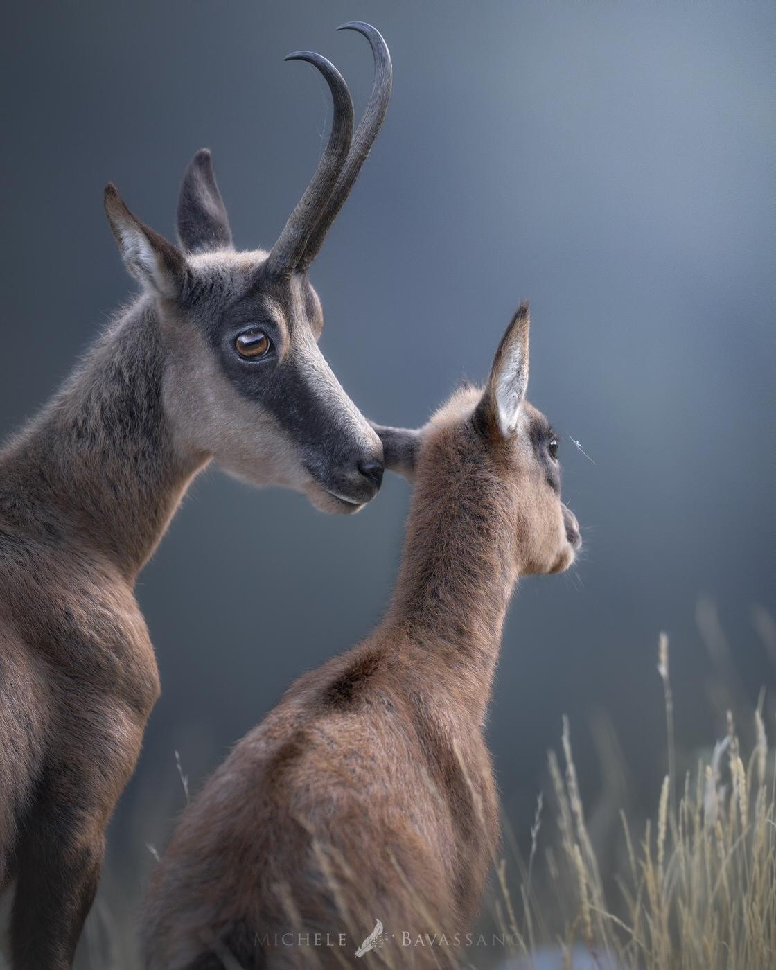 camoscio appenninico parco nazionale d'abruzzo fotografia naturalistica - Michele Bavassano