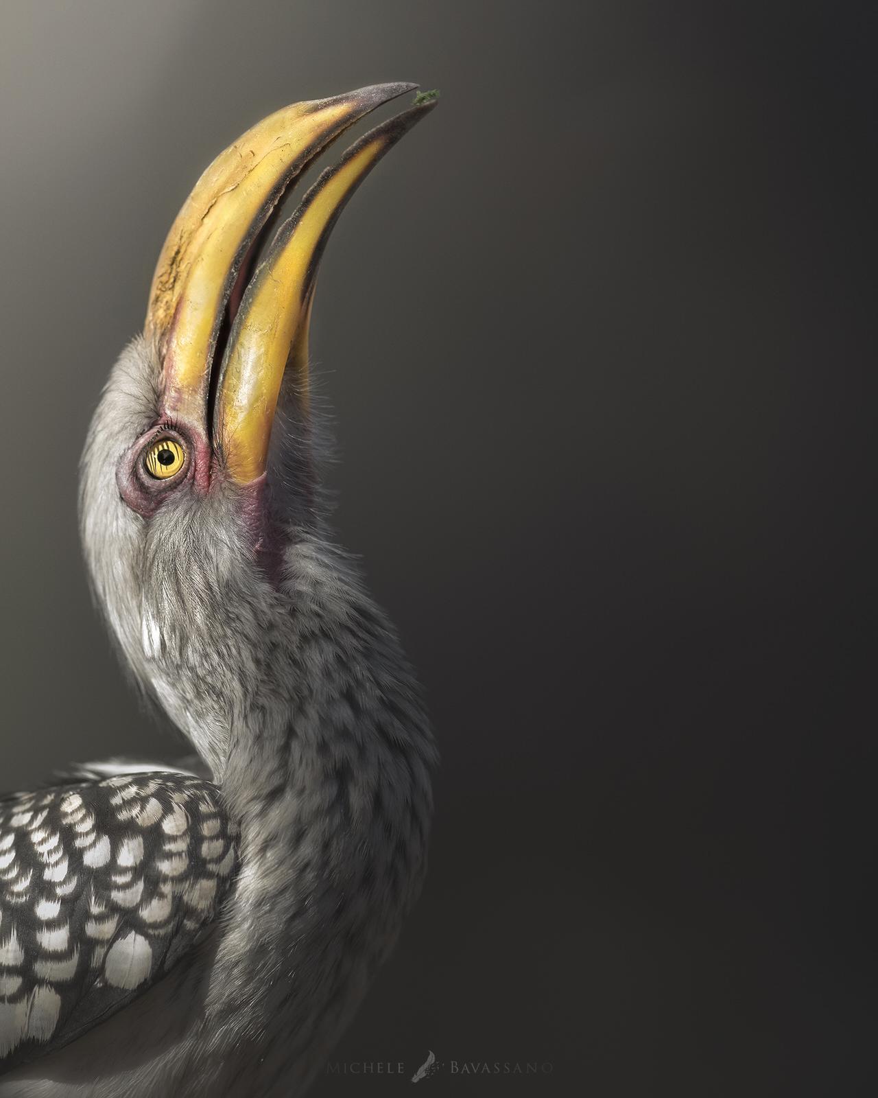 bucero becco giallo africa fotografia naturalistica