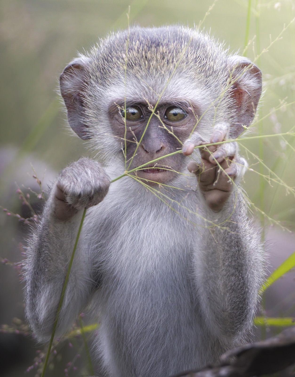cercopiteco verde africa kruger fotografia naturalistica