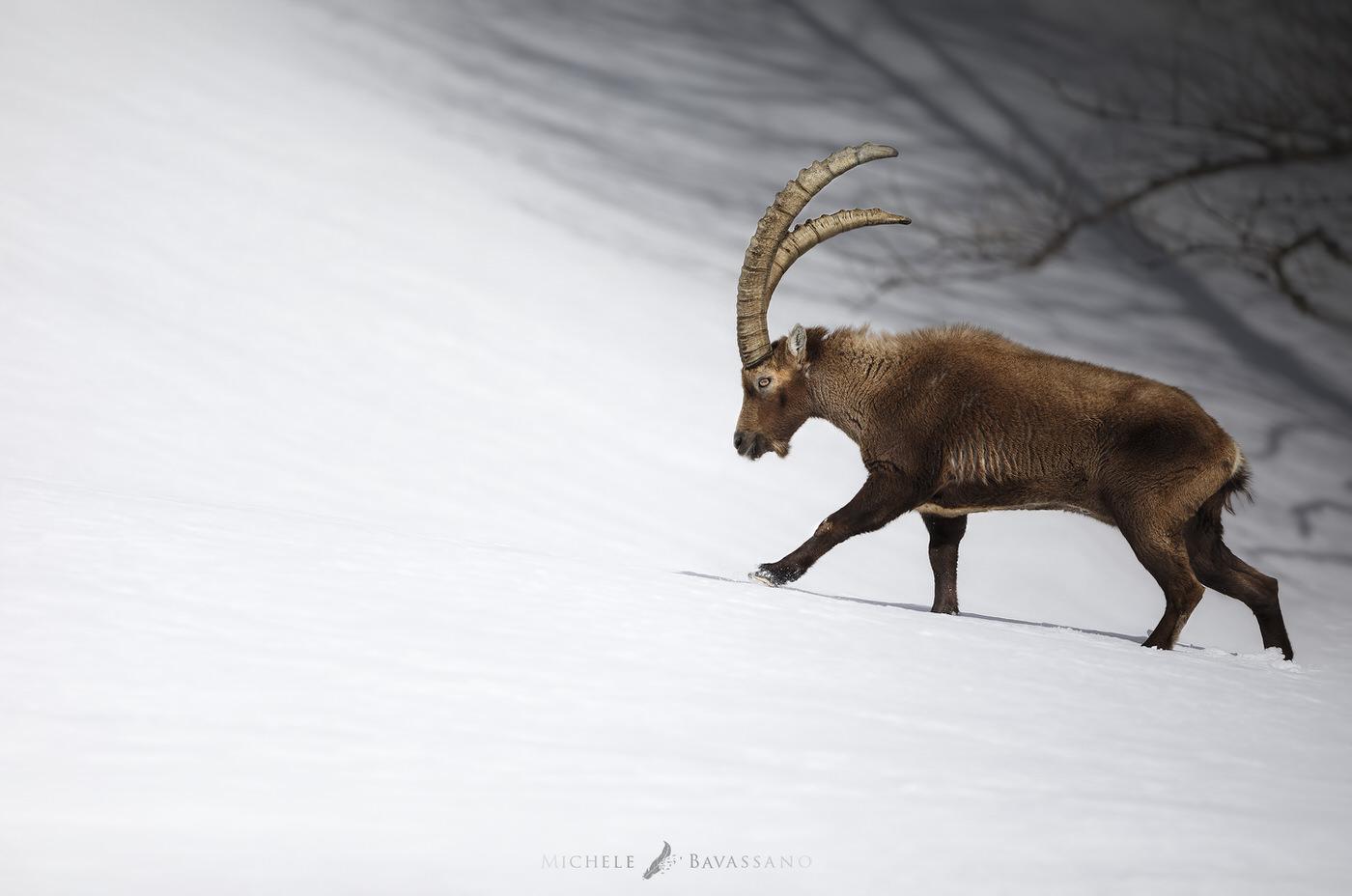fotografia naturalistica stambecco parco nazionale del gran paradiso - Michele Bavassano