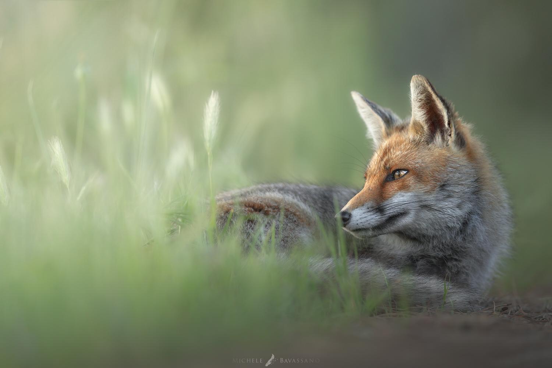 volpe nell'erba