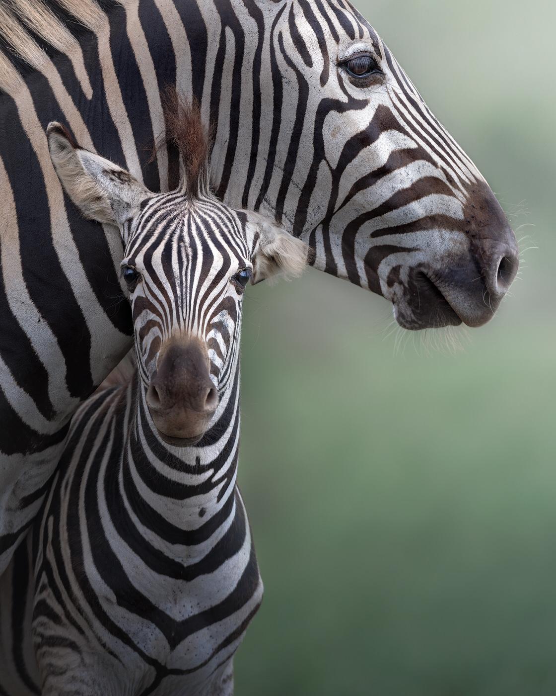 zebre fotografia naturalistica kruger national park