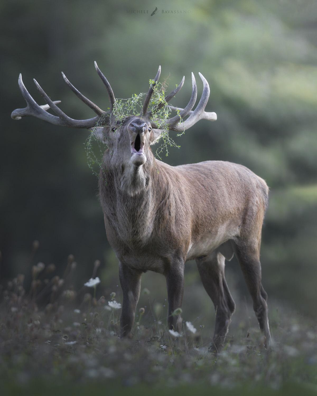 bramito del cervo