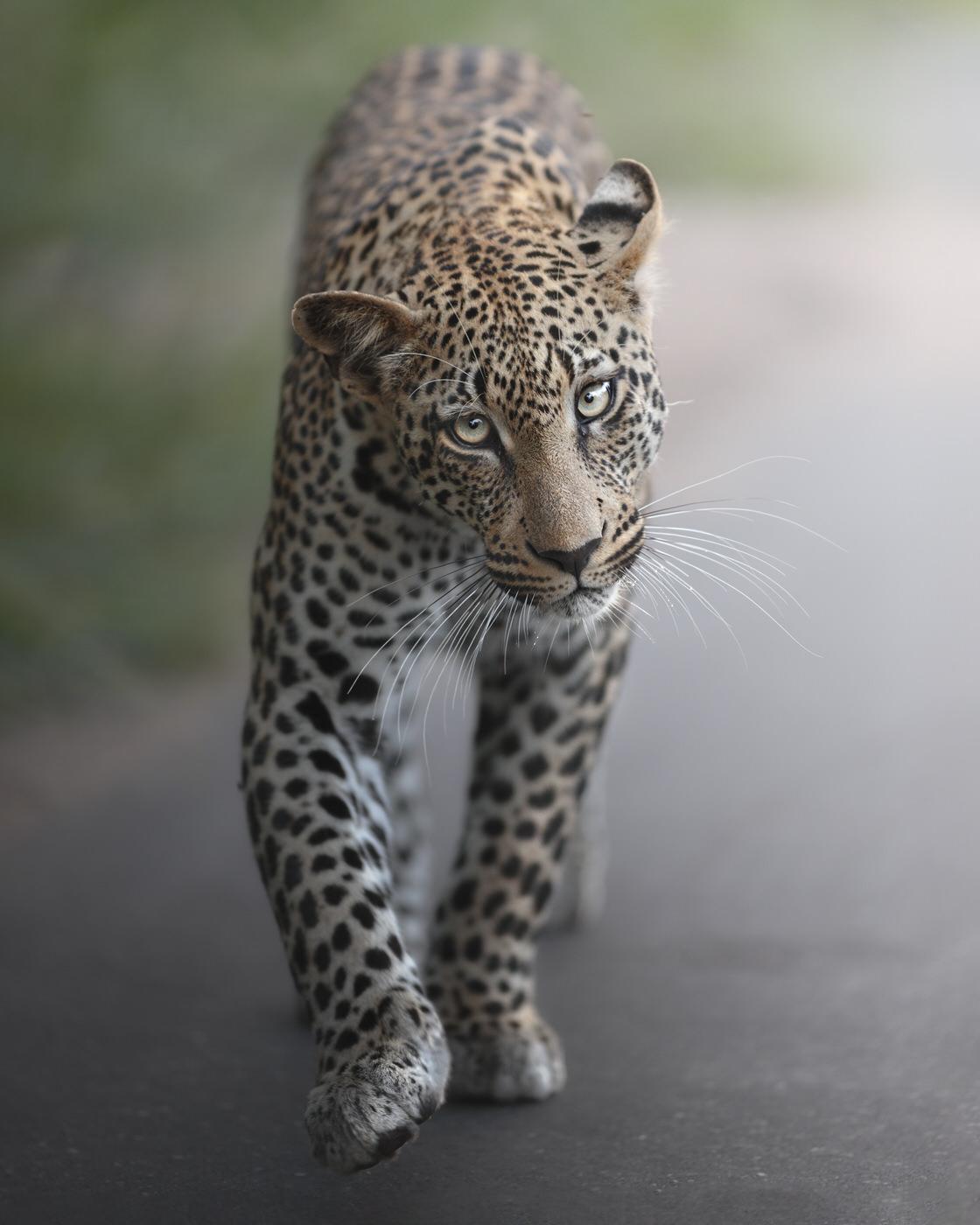 leopardo kruger national park fotografia naturalistica