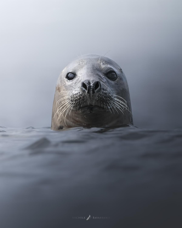 foca ritratto scozia