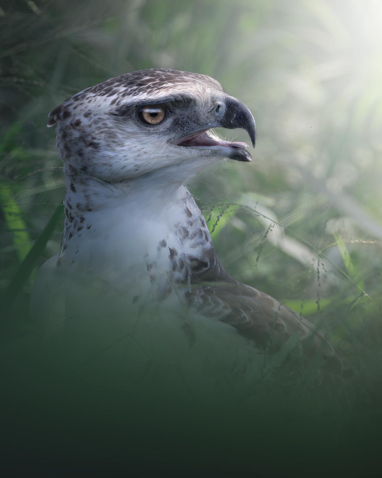 Aquila marziale africa fotografia naturalistica