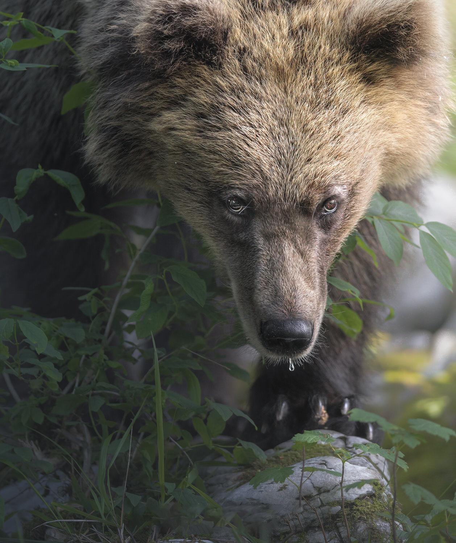 ritratto di orso bruno europeo