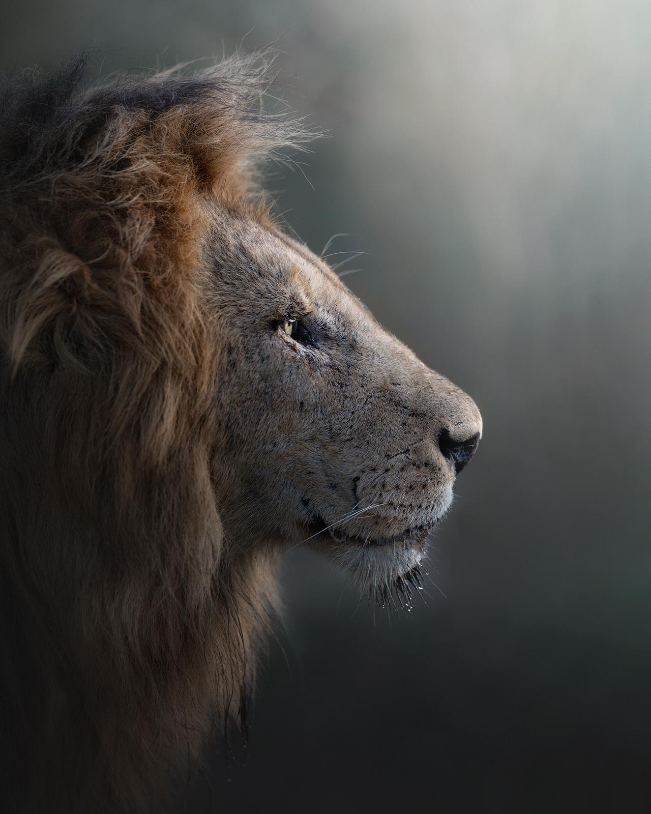 leone fotografia naturalistica africa