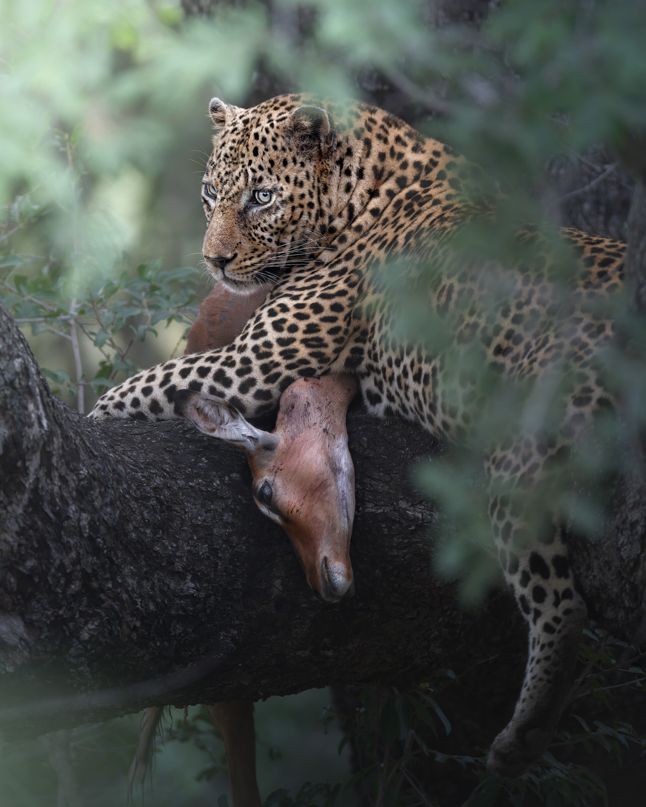 leopardo kruger africa fotografia naturalistica
