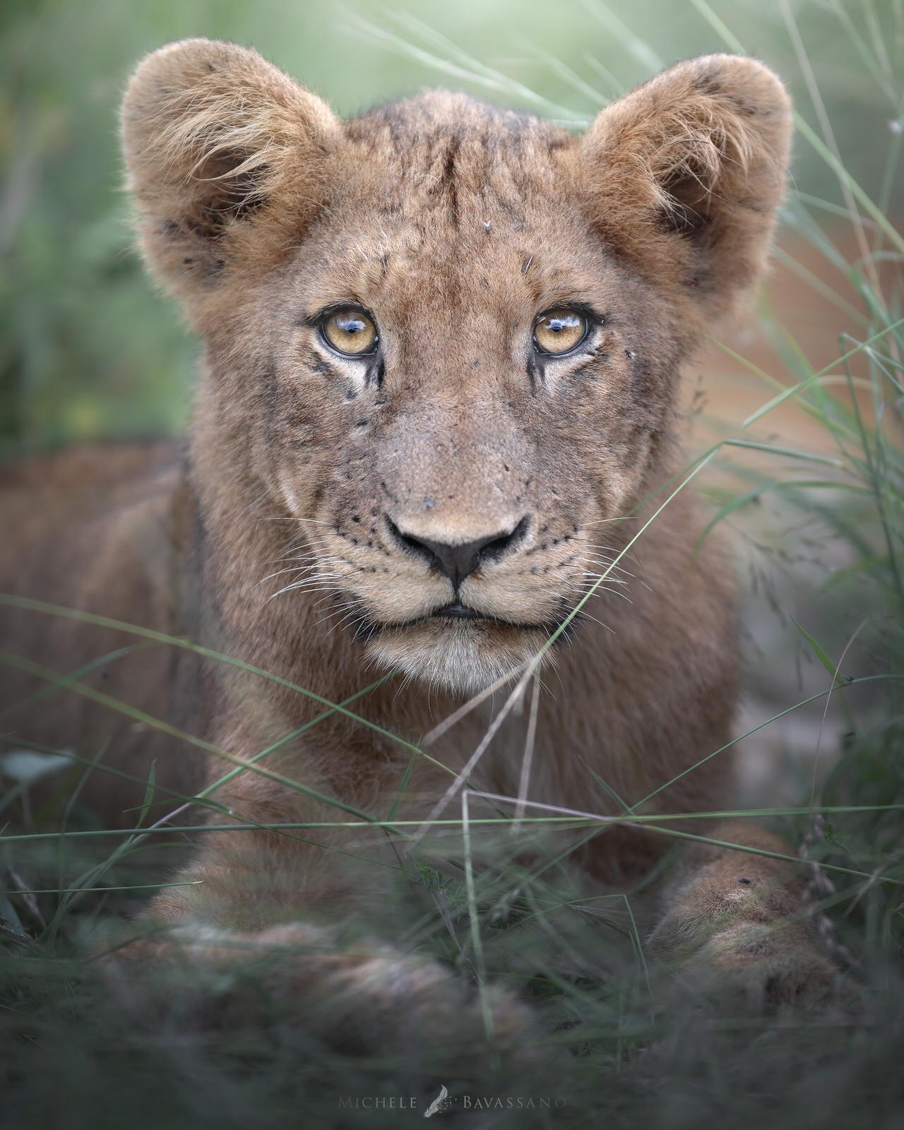 cucciolo di leone africa fotografia natualistica