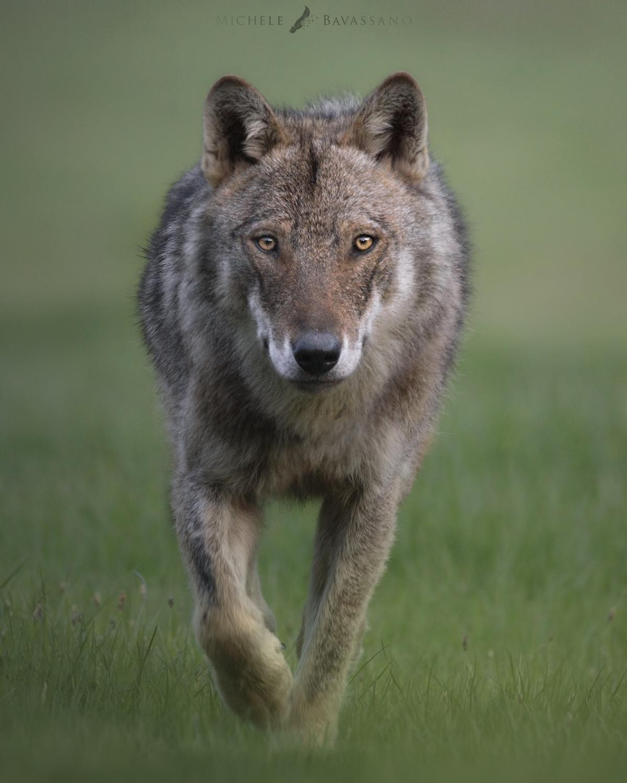 lupo appenninico parco nazionale d'abruzzo