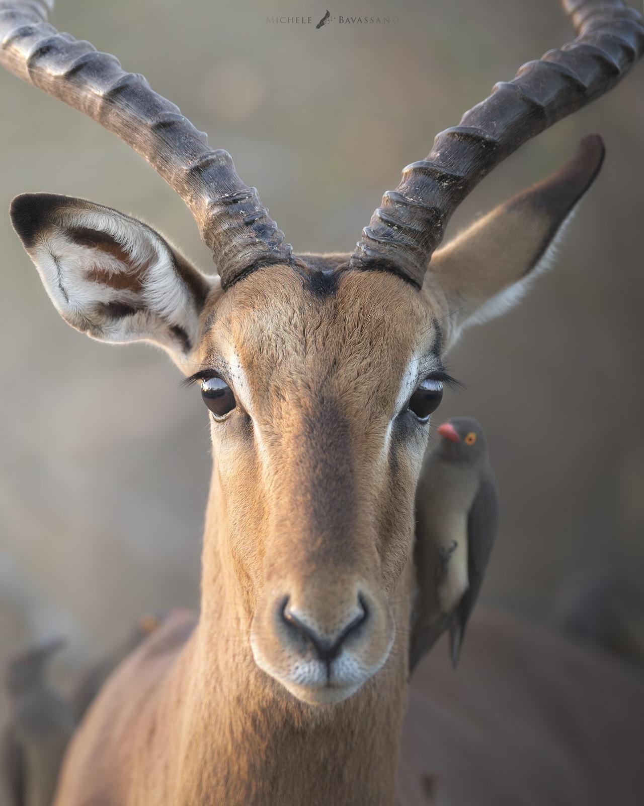 impala africa fotografia naturalistica