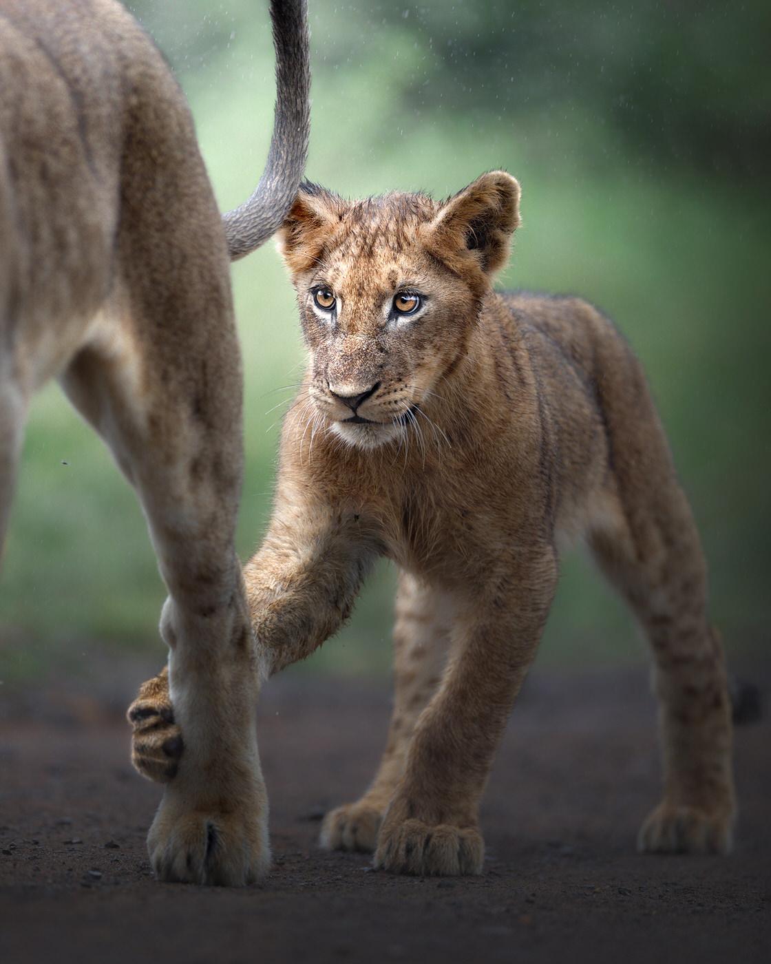 leoni kruger national park fotografia naturalistica