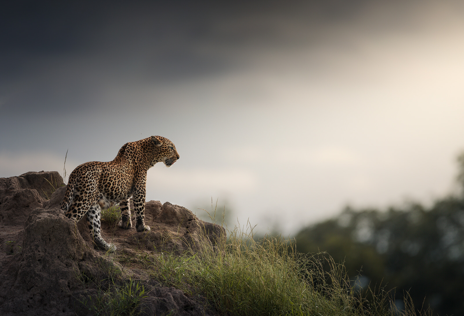 leopardo africa kruger fotografia naturalistica