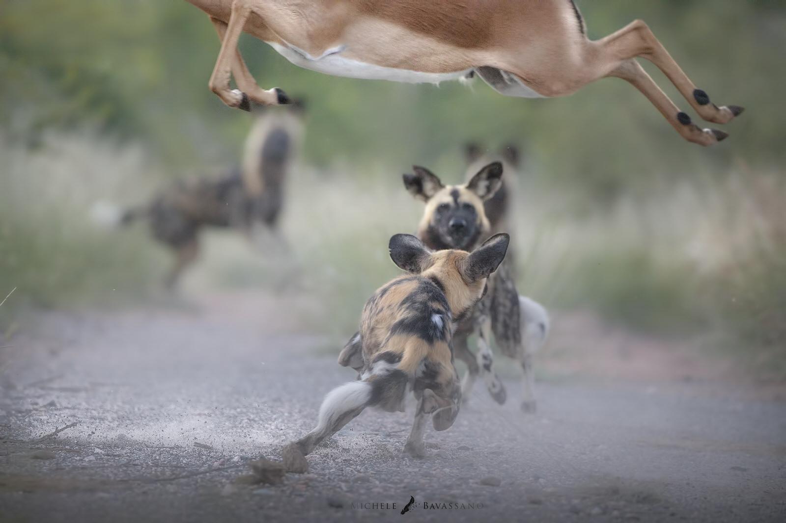 licaoni africa fotografia naturalistica
