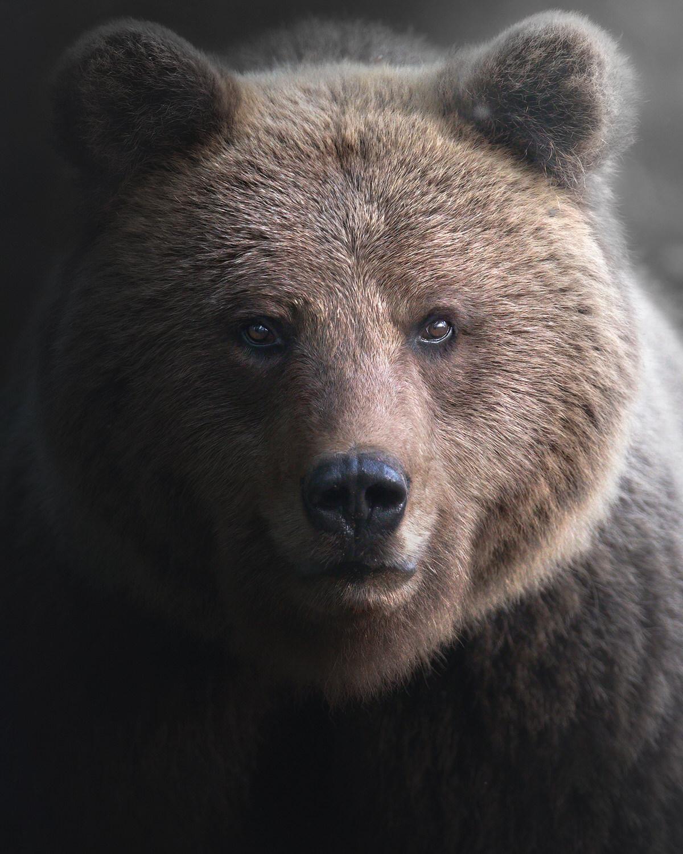 ritratto a orso bruno europeo