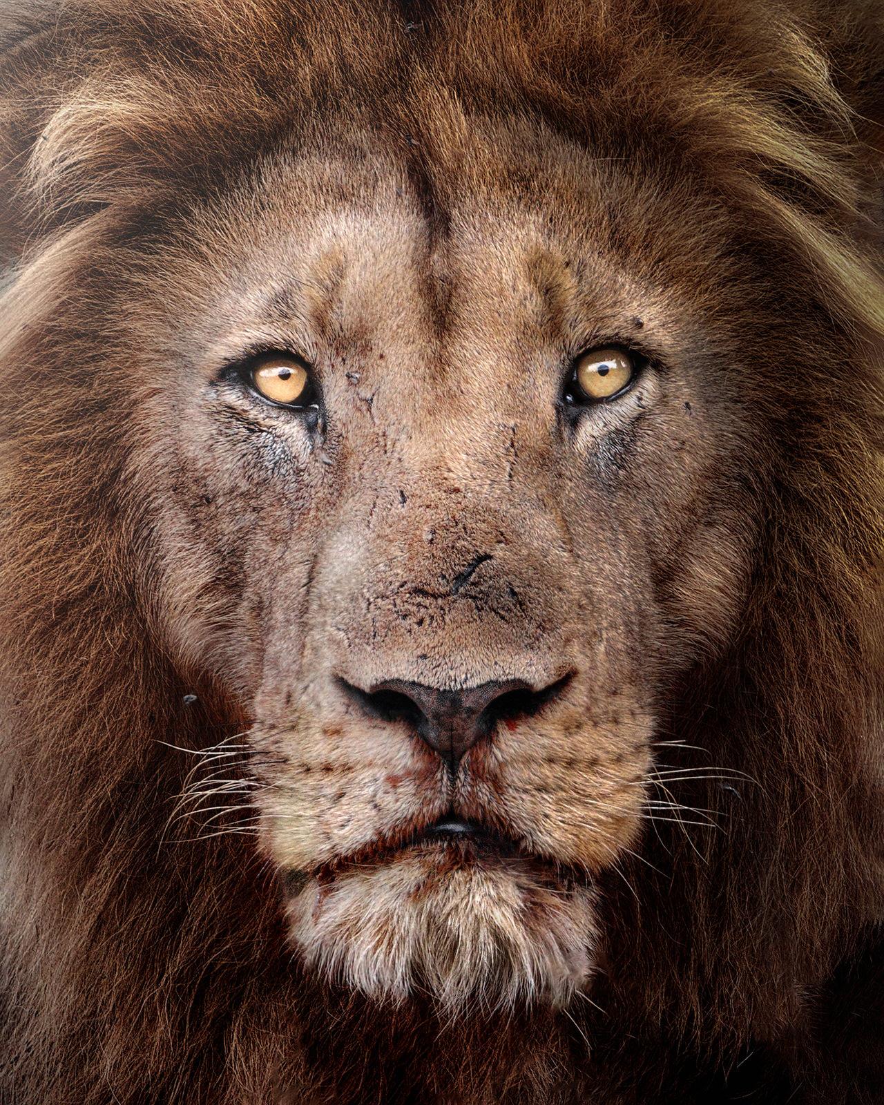 re leone africa fotografia naturalistica
