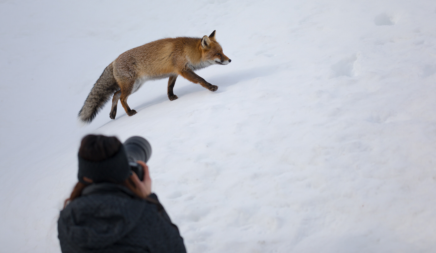 workshop di fotografia naturalistica volpe neve