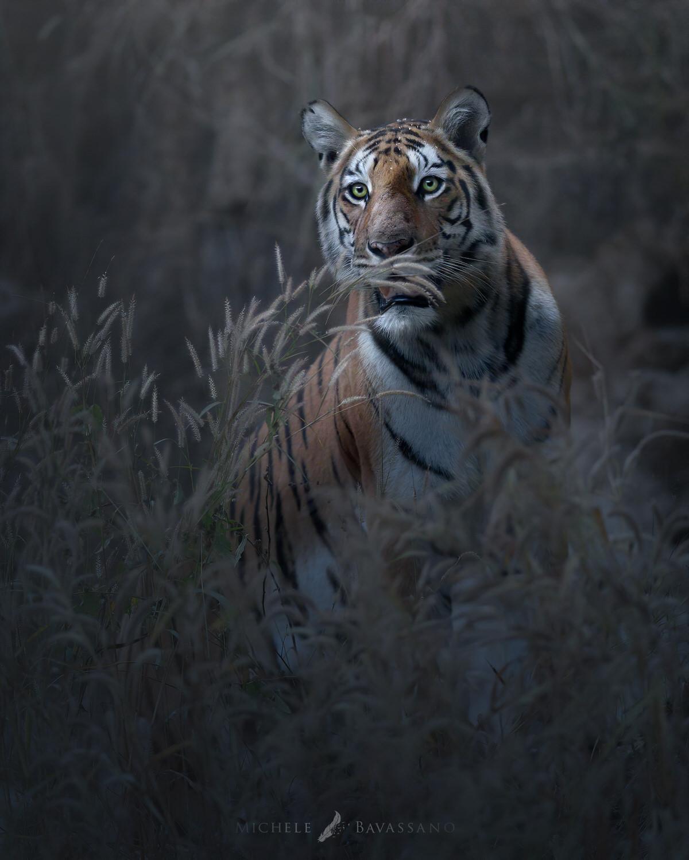 tigre del bengala pench national park fotografia naturalistica - Michele Bavassano