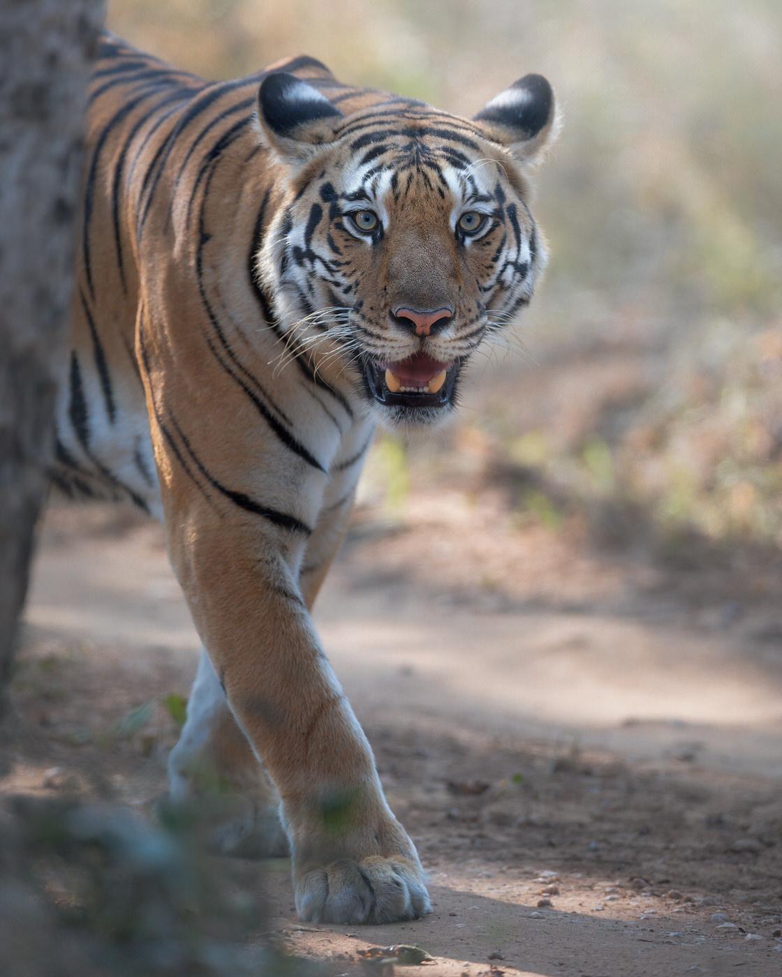 Tigre del bengala fotografia naturalistica in India - Michele Bavassano