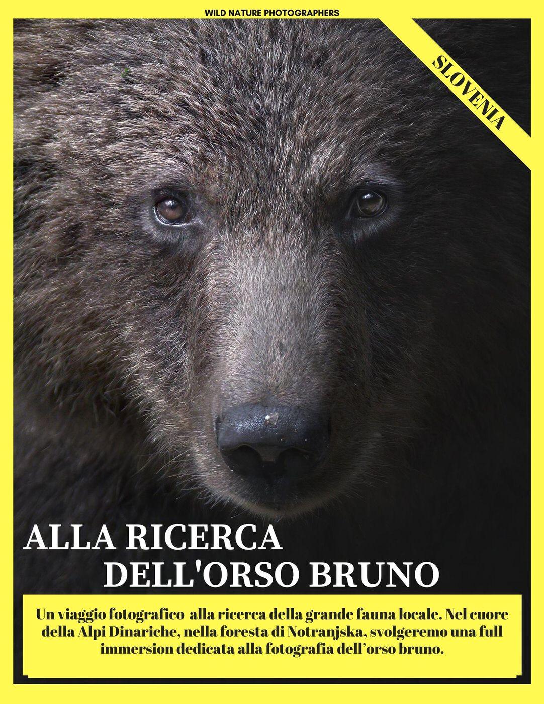 viaggio fotografico orso bruno slovenia