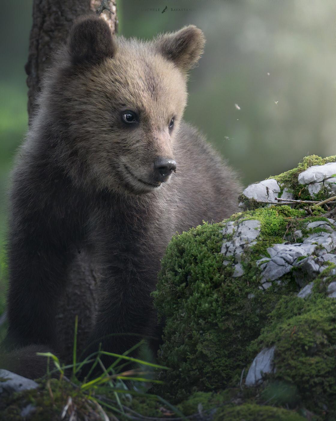 Cucciolo di orso bruno slovenia viaggio fotografico