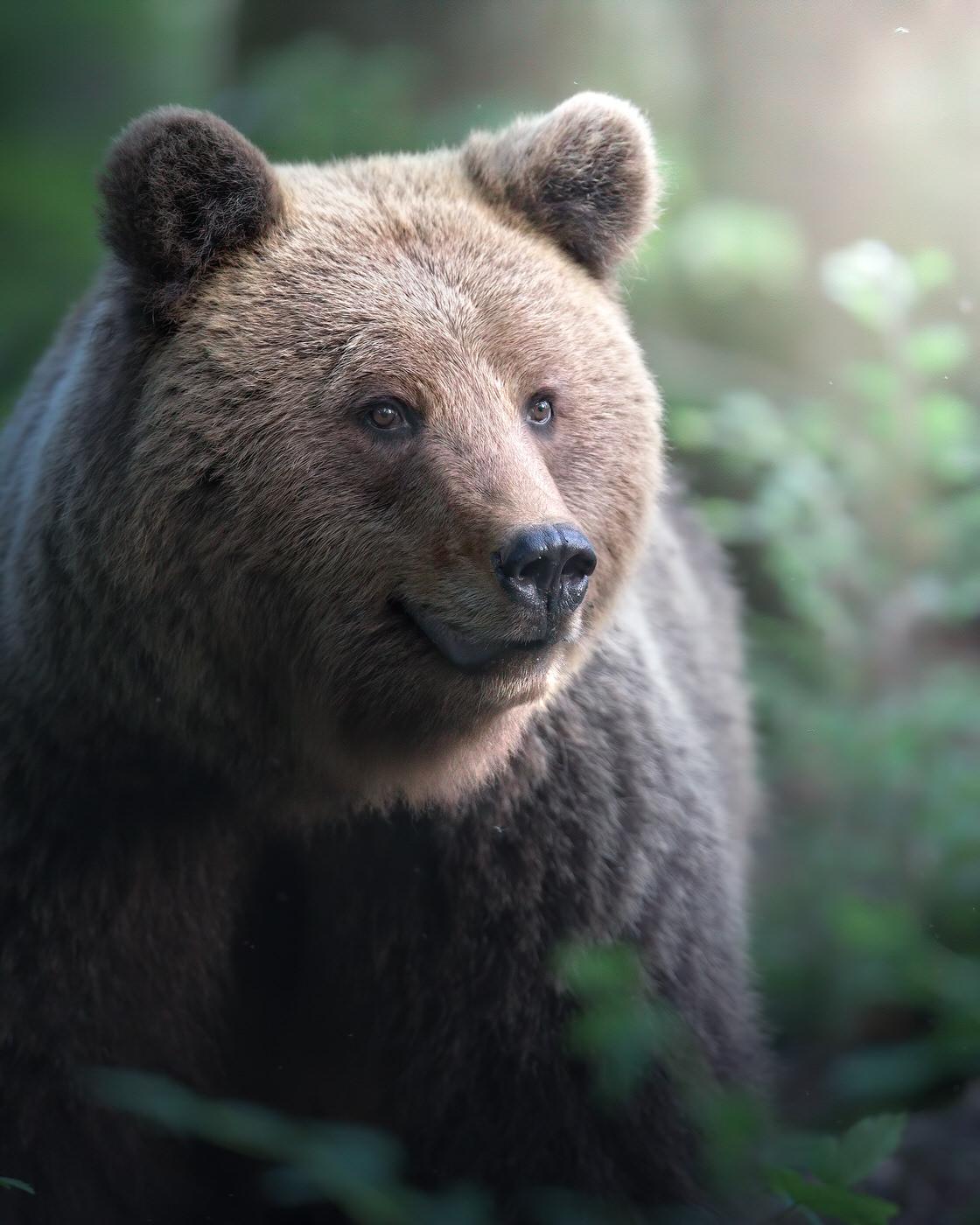 viaggio fotografico slovenia orso bruno
