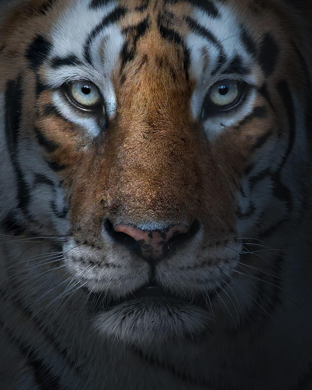 ritratto a tigre del bengala
