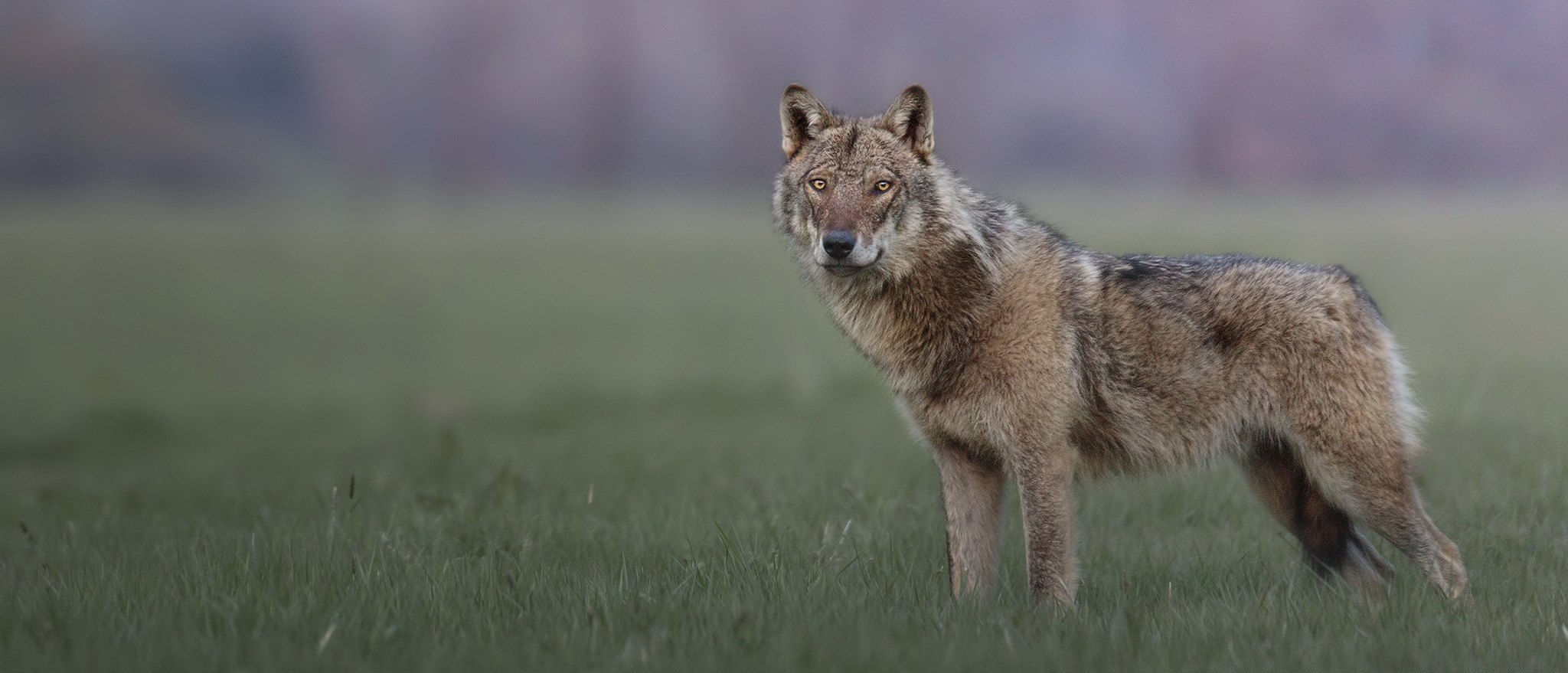 lupo appenninico workshop di fotografia naturalistica parco nazionale d'abruzzo