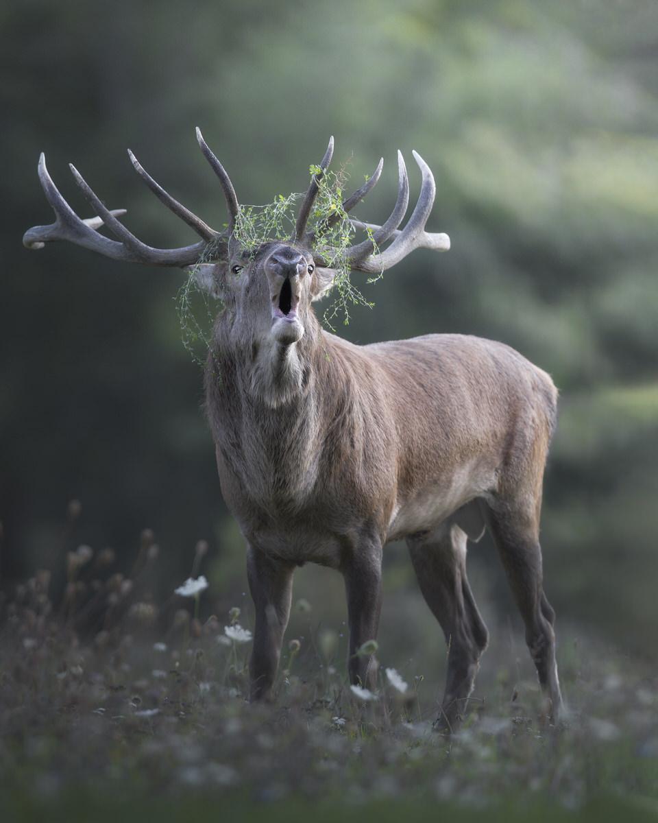 cervo bramito fotografia naturalistica - Michele Bavassano