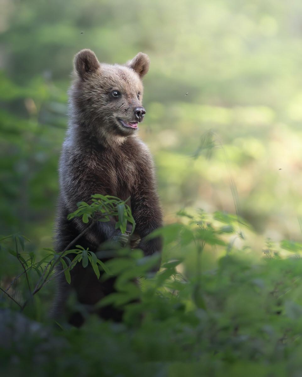 orso bruno cucciolo fotografia naturalistica - Michele Bavassano