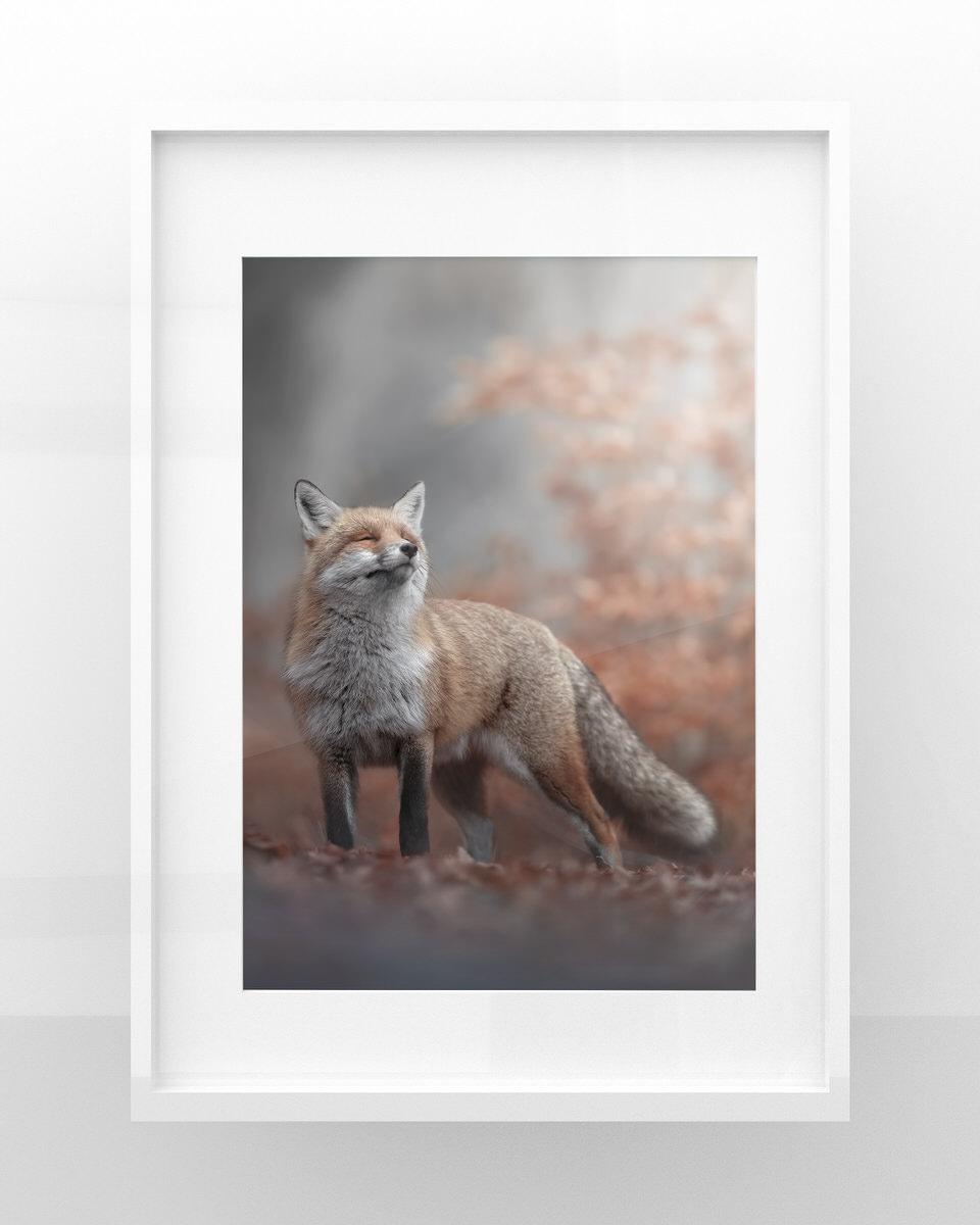 stampa fotografia naturalistica volpe