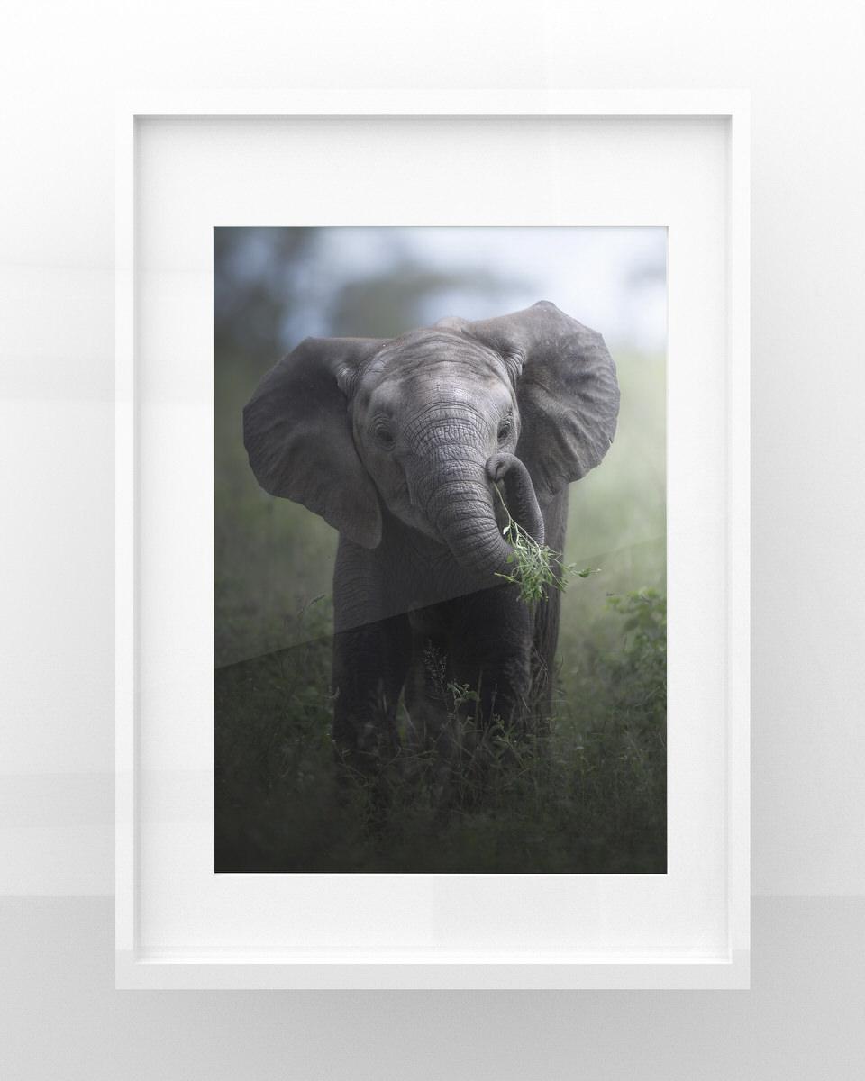 stampa fotografia naturalistica elefante