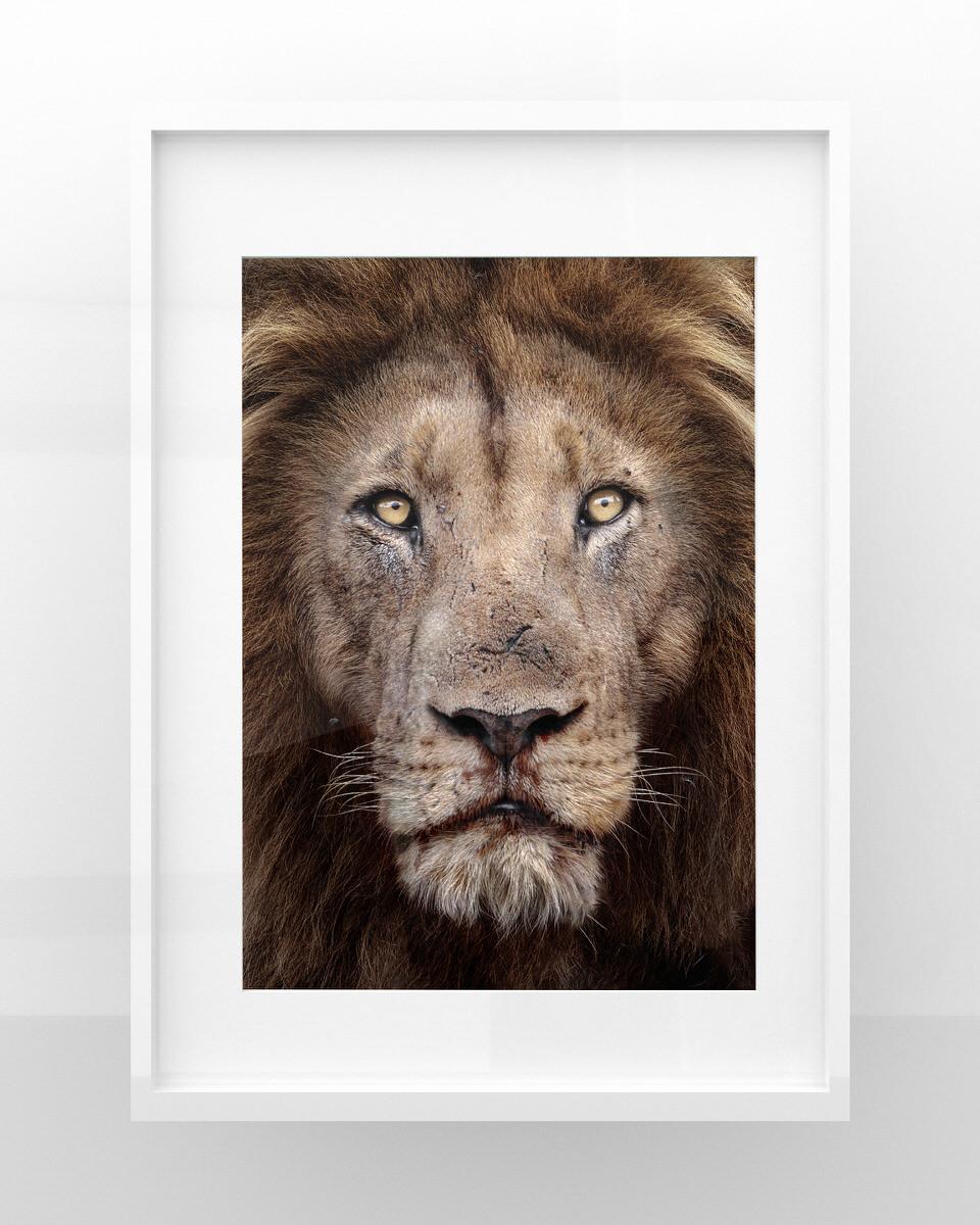 Stampa fotografia naturalistica leone