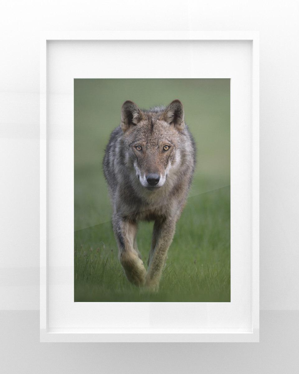 stampe fotografia naturalistica lupo