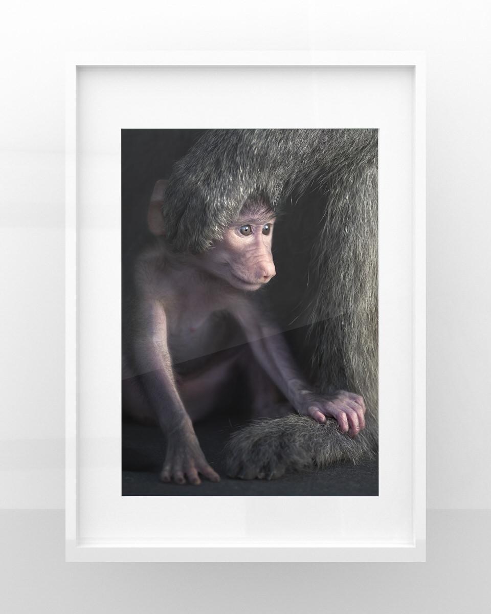 stampe fotografia naturalistica babbuino cucciolo