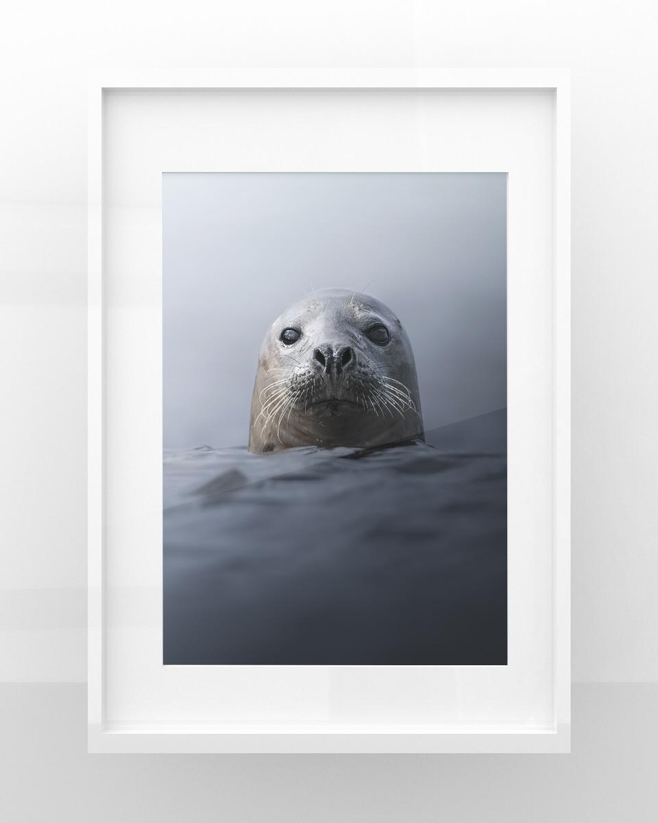 Stampe fotografia naturalitica Foca