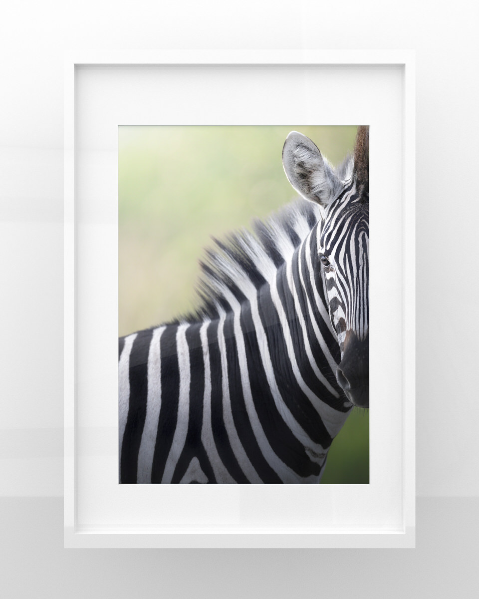 Zebra stampa fotografia naturalistica