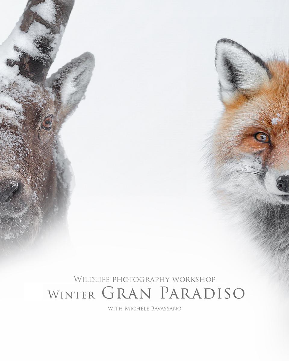 workshop-wildlife-photography-gran-paradiso-michele-bavassano